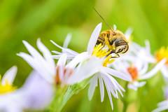 Wazza (Louis Alexander Smith) Tags: nikon nikond750 nikon60mm macro micro d750 wasp sting pollon