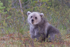 Little Grey (ToriAndrewsPhotography) Tags: brown bear cub baby grey fluffy finland photography andrews tori