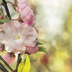 I have met the soul . . . (anniedaisybaby) Tags: pink macro sunshine garden spring bokeh jenny shrub flypaper kahlilgibran macography texturethanksto doublefloweringplum lesbrumes lebaneseauthorpoet