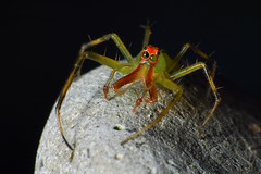 Magnolia Green Jumping Spider (Larah McElroy) Tags: photograph photography picture pictures larah mcelroy larahmcelroy arachnid arachnids spider spiders magnolia green jumping