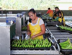 The Sticker Woman (nfin10) Tags: cruise costa lady del canon canal sticker rica banana powershot plantation panama monte g16 worman nfin10