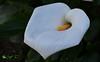 Κρινάκι (foula.tsitipidou) Tags: λευκό κρινάκι