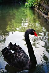 """Black Swan"" (Daniel Eugnio) Tags: cisne negro blackswan 35mm film nature portugal"