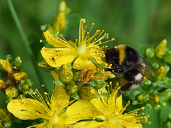 Bumblebee - Hummel (Lala89_Photos) Tags: yellow gelb flower blume flowers blumen bumblebee hummel natur nature plant pflanze black forest blackforest schwarzwald