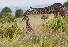 Tender Love (paulinuk99999 (lback to photography at last!)) Tags: paulinuk99999 nairobinationalpark keys wildlife mammal giraffe mother baby wild newborn sal70400g