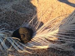MM On The Beach (MeEvita) Tags: macromondays opposites beach feather stone gotland evam iphone5c