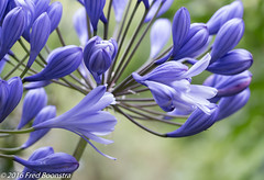 IMG_0445 (A.J. Boonstra) Tags: agapanthusflorepleno flower garden agapanthus ef100mmf28lmacroisusm canon70d