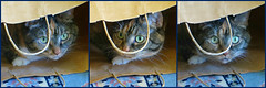 Gracie 25 June 2016 9796-9799-9800 (edgarandron - Busy!) Tags: cat cats kitty kitties tabby tabbies cute feline gracie patchedtabby coth coth5 bbelle photo vu dans friends tom a hrefhttpswwwflickrcomgroupshttpwwwflickrcomgroups1290101n25poolfriends img srchttpsfarm5staticflickrcom402942843997597f750d221amjpg width240 altfriendsoftom post 1 ~ award 2b bestofcats catmoments
