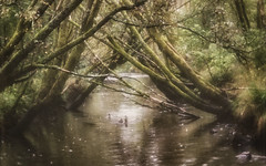 Peaceful Waters (Anne Worner) Tags: trees painterly texture water lensbaby river moss stream wideangle olympus faded filter layers fowl leaning matte oldgrowthforest mosscovered em5 fyllingsdalen ononesoftware anneworner velvet56