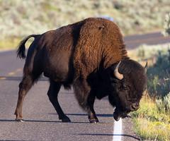 IMG_7943 Bison Crossing Road (cmsheehyjr) Tags: cmsheehy colemansheehy nature wildlife bison buffalo yellowstone wyoming yellowstonenationalpark
