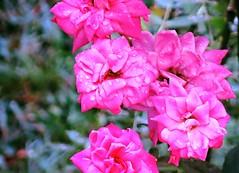 new batch of rose blossoms ~ HBW! (karma (Karen)) Tags: baltimore maryland homefrontyard bushes roses blossoms dof bokeh 4summer hbw bokehwednesday