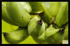 Bunches (rachFNQ) Tags: bananas macro focus palmtree bunch tropics tropical queensland fnq australia