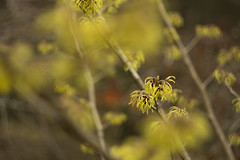 witch hazel (louisa_catlover) Tags: plant garden nature outdoor mountwilson mtwilson bluemountains nsw australia winter august 2016 tree flowers yellow witchhazel selectivefocus bokeh dof depthoffield canon eos 60d helios helios442 m42 58mm f2 manual russian vintagelens manualfocus hamamelis