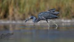 Little Blue X Tri-Colored Heron 7_26 2 (krisinct- Thanks for 12 Million views!) Tags: nikon 500 f4 vr g