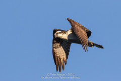 Osprey (Tyler Hartje) Tags: osprey washington state lake bird avian