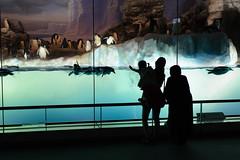 20160712 Port of Nagoya Aquarium 1 (BONGURI) Tags: family silhouette penguin nikon jp nagoya   aichi watertank        portofnagoya  portofnagoyapublicaquarium  minatoward   d3s nagoyapublicaquarium afsnikkor50mmf18gspecialedition