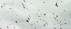 Kite chaos (The_Random_Photographer) Tags: birds feeding sigma gliding hovering foveon flocking redkites swooping dp2m