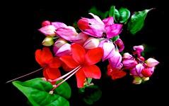 Botanical Beauty (Pufalump) Tags: pink red black green leaves nature spray macro petals stamen botanical