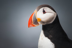 Portrait of a Puffin @Grimsey (Benjamin MOUROT) Tags: iceland islande noth northernlight viking canon 70d nisifilter polarised lightroom6 photoshopcs3 landscape paysage poselongue europe 2016 july animal macareux puffin faune bird colorful 70300mm grimsey island portrait