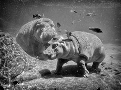 Hippos (GavinZ) Tags: california sandiego usa zoo hippo animal underwater bw blackandwhite square water sandiegozoo