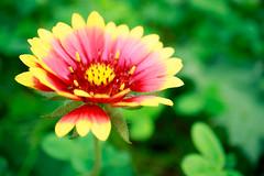 IMG_0993 (Jun.Ohashi) Tags: flower macro canon eos is 28mm led jp  stm  gaillardia    blanketflower f35   efm  apsc  eosm3 efm28mm efm28mmf35macroisstm