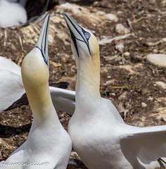 """Beak to Beak"" (maureen.elliott) Tags: birds northerngannets wildlife nature quebec bonaventureisland gaspe perce outdoors"