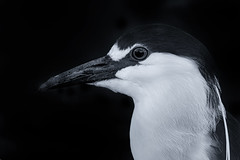 Black-Crowned Night Heron (Cruzin Canines Photography) Tags: wild blackandwhite bird nature monochrome birds animal animals canon outside outdoors zoo wildlife naturallight calm wildanimal tamron bakersfield califorina blackcrownednightheron kerncounty californialivingmuseum 5ds canon5ds eos5ds tamronsp150600mmf563divcusd canoneos5ds