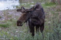 Bull Moose (moore.sterling) Tags: moose grandtetonnationalpark grosventreriver sterlingmoore moorethanwildphotography