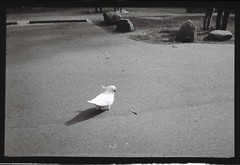 Cockatoo on the road (Matthew Paul Argall) Tags: kodakbrownie127 127 127film fixedfocus bird blackandwhite rerapan100 rerapan animal ground road 100speedfilm 100isofilm cockatoo