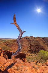 Dead Tree (Dusty Dog Imaging) Tags: tree dead canyon australia nt northern territory desert outback sun dry hot landscape rock red