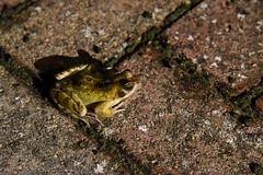 DSC_2967 (PeaTJay) Tags: nikond750 reading lowerearley berkshire macro micro closeups gardens outdoors nature reptiles amphibians frog frogs