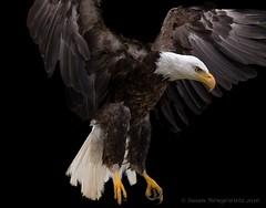 Fly like an eagle (Susan Newgewirtz) Tags: nikon nikond750 raptor eagle americanbaldeagle outdoor wildlifephotography worldsbestnikonshots