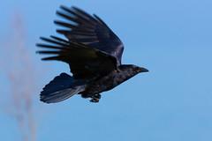 Krhenflug (ChJ Pics) Tags: corvus flug krhe rabenvogel vogelflug vgel