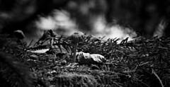 (Angela Schlafmtze) Tags: natur natura niederwald sottobosco fungo pilz erba gras macro macrofotografia makrofotografie