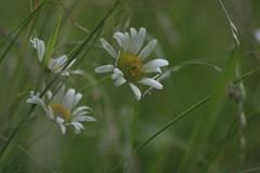 Meadow (Xtraphoto) Tags: green grn flower blume grass gras meadow wiese bokeh