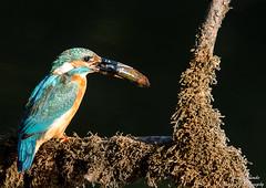 Eisvogel Weibchen(Alcedo atthis)Arne Flemke (Cristoforo Colombo) Tags: kingfisher bremen eisvogel wmme blockland