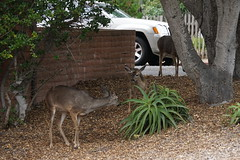 Oh Deer! (charlottes flowers) Tags: deer pacificgrovecalifornia montereycounty citystreet
