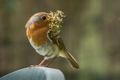 Robin (female) with nest material (1) (jgsnow) Tags: robin ngc npc nestmaterial