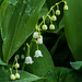 2015-05-05a (125/365) Lily of the Valley (wide view)