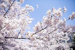 someiyoshino  #4 (hauko) Tags: flower canon tokyo spring 桜 sakura cherryblossoms canon5d megurogawa someiyoshino ソメイヨシノ canoneoskissx2