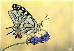 No solo belleza (- JAM -) Tags: naturaleza flower macro nature insect nikon flor explore jam mariposas d800 insecto macrofotografia explored lepidopteros juanadradas
