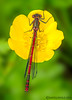 Large Red Damselfly (Crazybittern1) Tags: largereddamselfly sigma70300mmmacro foulshawmoss nikond7000 cumbriawildlifetrust