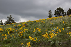 IMG_3283 (Dancing Aspens) Tags: mountains montana arrowleafbalsamroot