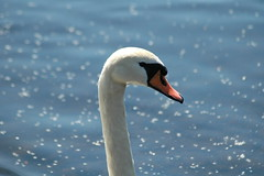 Mute Swan on the River Teith in Callander.. (tormentor4555) Tags: river swan mute callander teith