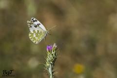 El Salto (Jump) (borjamuro) Tags: flower primavera butterfly spring jump nikon flor salto mariposa d7100