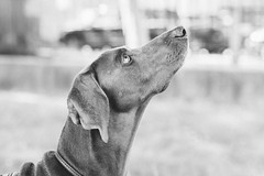 oh hello there! squirrel! (VanaTulsi) Tags: dog weimaraner weim blueweimaraner vanatulsi blueweim