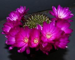 Sulcorebutia mentosa (nolehace) Tags: sanfrancisco plant flower spring bloom 516 sulcorebutia mentosa nolehace fz1000