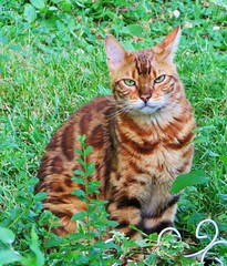 Seeing Spots (Lisa Zins) Tags: orange cat fur feline tn tennessee bengal osiris bengalcat petsandanimals lisazins