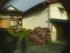 Kura and Ajisai (-ICHIRO) Tags: street snap yashica ez f525 toy camera wide lens