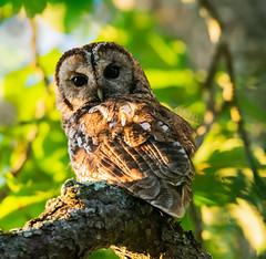 Chouette hulotte (quercyanimalier) Tags: chouette hulotte tawny owl